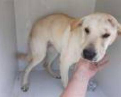 Adopt ALICE a Tan/Yellow/Fawn Labrador Retriever / Shar Pei / Mixed dog in