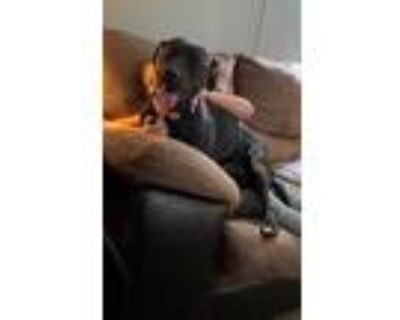Adopt PANTHER a Black - with White Labrador Retriever / Mixed dog in
