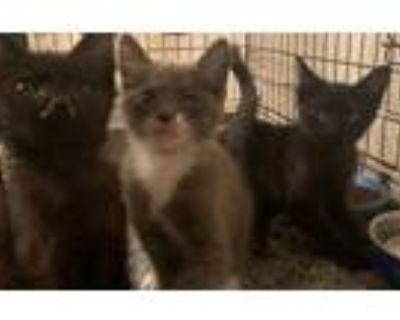 Adopt Arcadia Kittens (Foster Found! ) a Domestic Short Hair