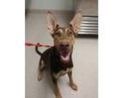 Adopt *DELANY a Brown/Chocolate - with Tan Doberman Pinscher / Mixed dog in
