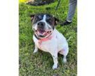 Izzy, Boston Terrier For Adoption In Houston, Texas