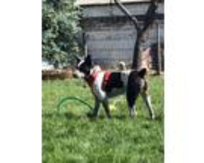 Adopt Cooper a Australian Cattle Dog / Blue Heeler