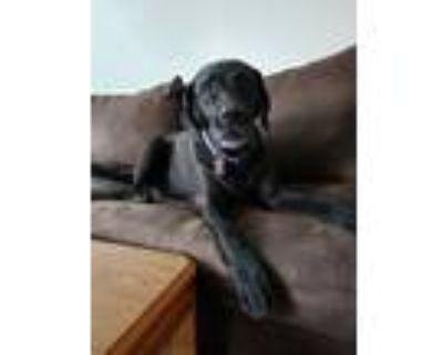 Adopt Gabe a Labrador Retriever