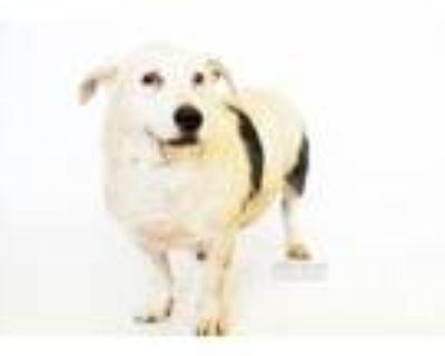 Adopt Potato a Pit Bull Terrier, Terrier