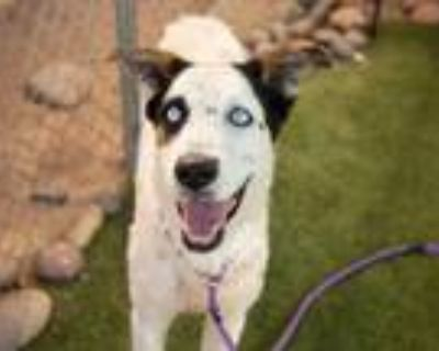 Adopt CLOONIE a White - with Black Border Collie / Husky / Mixed dog in Phoenix