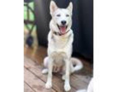 Adopt Huckleberry a Siberian Husky / Mixed dog in Barrington, RI (31968282)