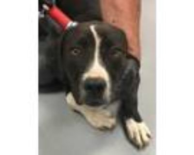 Adopt 48260306 a Black American Pit Bull Terrier / Mixed dog in Los Lunas