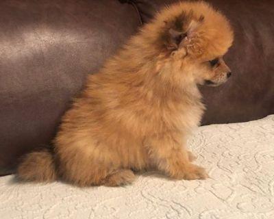 9 Wek Old Pomeranian puppies