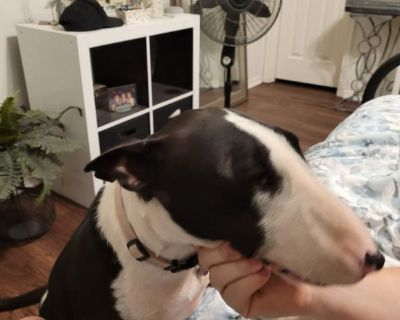 1 yr old Female Bull Terrier