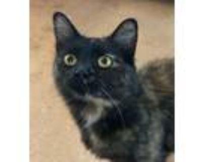 Adopt Prada a Domestic Mediumhair / Mixed (short coat) cat in Hampton