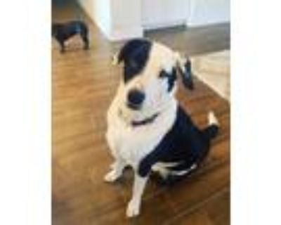 Adopt Toby a Black - with White Border Collie / Great Pyrenees / Mixed dog in
