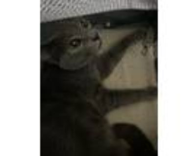 Adopt Fiona a Gray or Blue (Mostly) Russian Blue / Mixed (medium coat) cat in