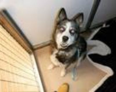 Adopt @ a Black - with White Australian Cattle Dog / Husky / Mixed dog in San