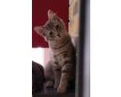 Adopt Gracie a Gray or Blue Domestic Shorthair / Mixed (short coat) cat in Fort