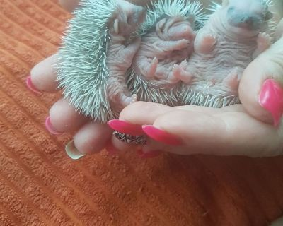Baby Hedgehogs- USDA Licensed