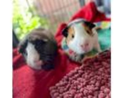 Adopt Henry (and Winchester) a Guinea Pig