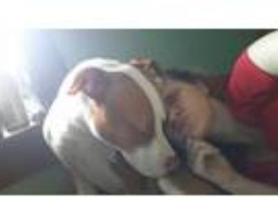 Adopt Jay a Red/Golden/Orange/Chestnut - with Black American Pit Bull Terrier /