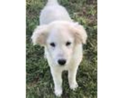 Adopt Angel a Great Pyrenees