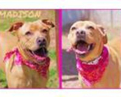 Adopt Madison a Tan/Yellow/Fawn Labrador Retriever / Mixed dog in Sautee