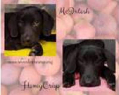 Adopt McIntosh and HoneyCrisp a Labrador Retriever, Black Labrador Retriever