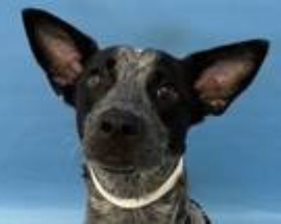 Adopt Ruby a Cattle Dog, Mixed Breed