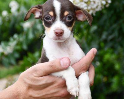 Harvey 11087 - Chihuahua/Mix - Puppy Male