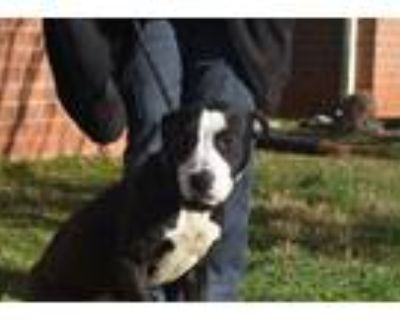 Riley, American Pit Bull Terrier For Adoption In Shelby, North Carolina