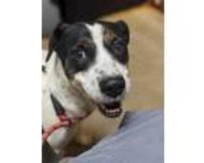 Adopt Larry a Australian Cattle Dog / Blue Heeler, Treeing Walker Coonhound