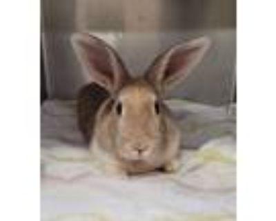 Adopt BUN BUN a Fawn Other/Unknown / Mixed rabbit in Albuquerque, NM (31461821)