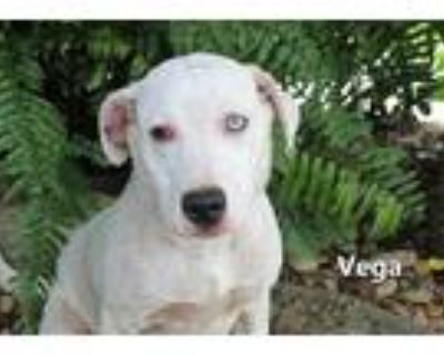 Adopt VEGA a White American Pit Bull Terrier / Mixed dog in Fort Myers