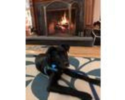 Adopt Loki a Black - with White Labrador Retriever / Australian Shepherd / Mixed