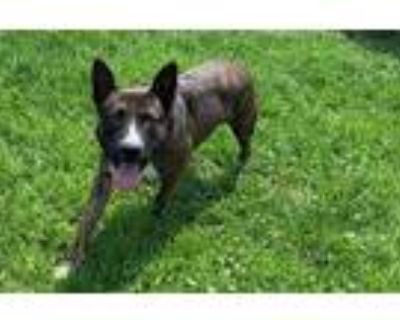 Adopt *SULLIVAN a Brindle - with White American Pit Bull Terrier / Mixed dog in
