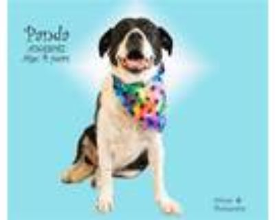 Adopt Dog a Black - with White Border Collie / Mixed dog in Thousand Palms