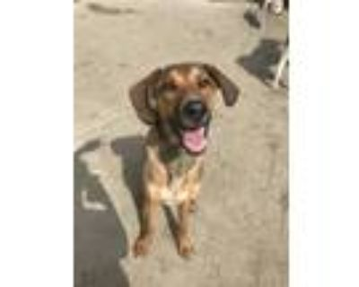 Adopt Mac a Brown/Chocolate - with Tan Hound (Unknown Type) / German Shepherd