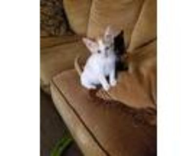 Adopt Scoot kitten a White (Mostly) Domestic Mediumhair (medium coat) cat in