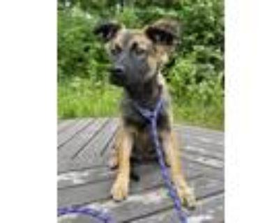 Adopt Ken a Tricolor (Tan/Brown & Black & White) Australian Shepherd / Shepherd