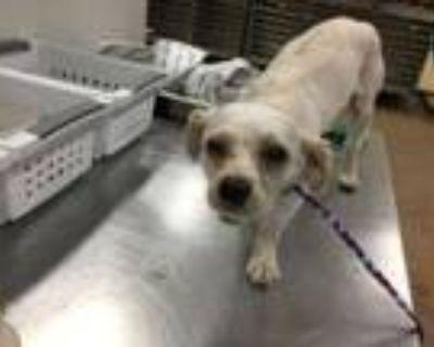 Adopt Dog a Lhasa Apso, Mixed Breed