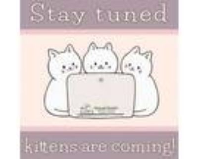 Adopt Kittens available soon a Domestic Short Hair