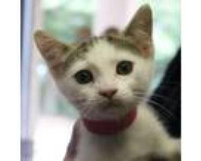 Adopt Rocky Road a White Domestic Shorthair / Domestic Shorthair / Mixed cat in