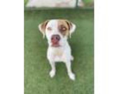 Adopt Felicia a White Pointer / Labrador Retriever / Mixed dog in Independence