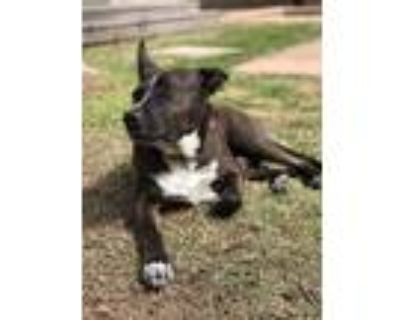 Adopt Clyde a Cattle Dog / Shepherd (Unknown Type) / Mixed dog in Houston
