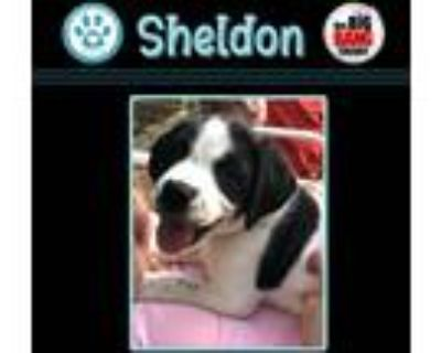 Adopt Sheldon Cooper (Big Bang Theory Pup) a White - with Black Pointer dog in