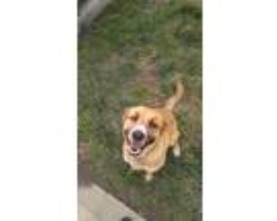 Adopt Luna a Brown/Chocolate - with Tan Boxer / German Shepherd Dog / Mixed dog