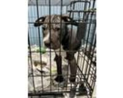 Adopt Luck a American Staffordshire Terrier, Boxer