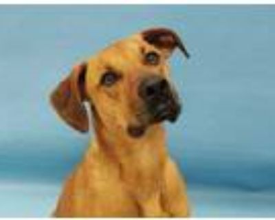 Adopt Tommy a Red/Golden/Orange/Chestnut Coonhound / Mixed dog in Coon Rapids