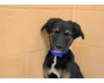 Adopt FRANKIE a Black - with Tan, Yellow or Fawn German Shepherd Dog / Mixed dog