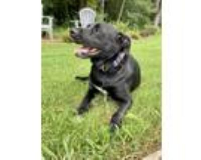 Adopt Captain a Black Labrador Retriever / Bloodhound / Mixed dog in Canton