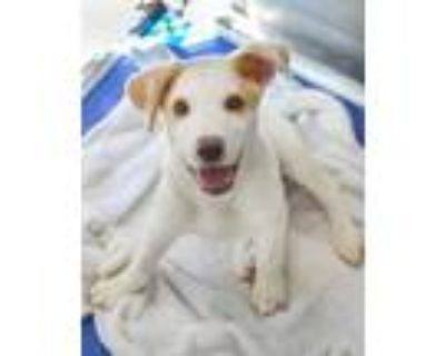 Adopt Munchy a White Shepherd (Unknown Type) / Mixed dog in Greenwood