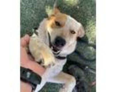 Adopt Buddy a Australian Cattle Dog / Blue Heeler