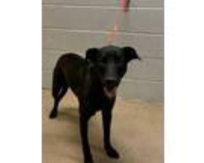 Adopt Wanda* a Black Labrador Retriever / Mixed dog in Anderson, SC (32073146)